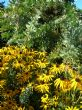 rudbeckia & acacia, 22.9.9
