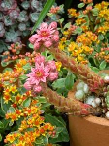 Sempervivum arachnoideum subsp. tomentosum & Sedum kamtschaticum 'Variegata'
