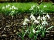 Galanthus nivalis 18.2