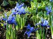 Iris reticulata 'Harmony' 18.2