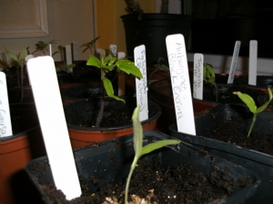 Potted on tomatos and aubergines