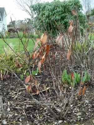 Kalmia latifolia 'Bullseye'
