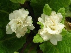 Linda's double Primula