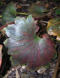 Saxifraga fortunei 'Rubrifolia'