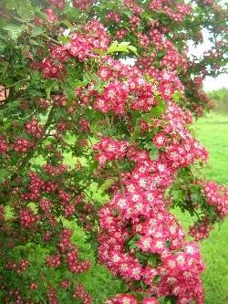 Crataegus 'Crimson Cloud'