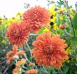 chrysanthemum 3.10.10