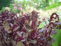 Amarantus 'Hope Red Dye'