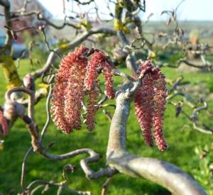 Corylus avellana 'Red Majestic'