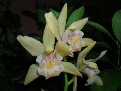 cymbidium mini