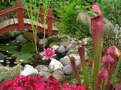 water lily & sarracenia