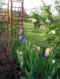 Abutilon vitifolium & iris
