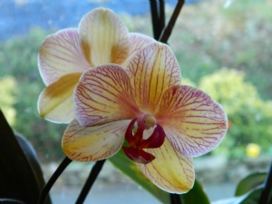 my oldest orchid
