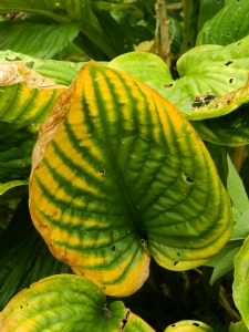 Unnamed Hosta