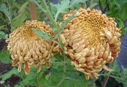 Chrysanthemum 'Alex Young'