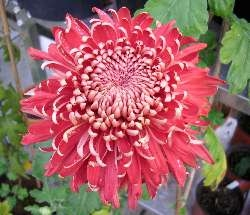 Chrysanthemum 'Regal Mist' Red