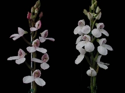 Disa tripetaloides (from the net)