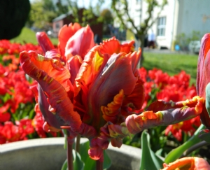 Tulipa 'Blumex'