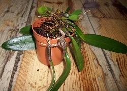 Bulbophyllum 'Elizabeth Ann Buckleberry'