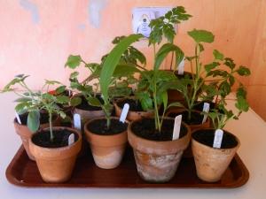 Pelargoniums Plus