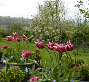 Tulipa 'Ballade'