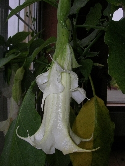 Double Flowered Brugmansia