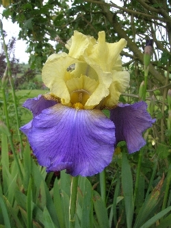 Iris 'Jurassic Park'