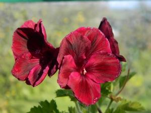 Rita D's Pelargonium 16.10.12