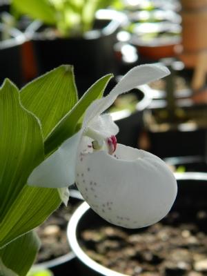 Cypripedium 'Ulla Silkens'