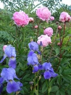 Paeonia 'Sarah Bernhardt' & Iris