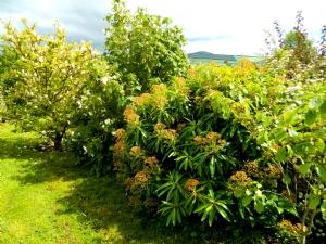 Magnolia, Abutilon & E mellifera