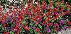 Salvia coccinea 'Lady in Red' & Verbena rigida