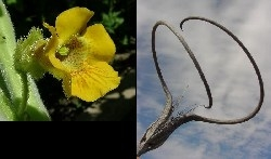 Ibicella lutea flower and seed capsule (photos from the web)
