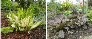 Armoracia rusticana 'Variegata' & Plantago major 'Rubrifolia'