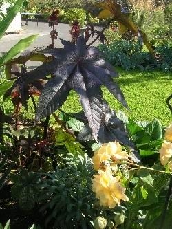 from Ricinus communis 'Zanzibarensis' seed