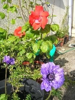 rose & anemone