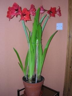 3 hippeastrum bulbs in pot - 1 in flower
