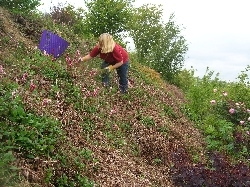 Weeding the Persicaria bank