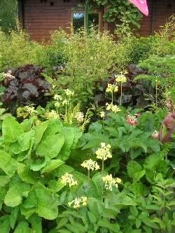 Primula florindae 'Keilour Hybrids' @ Huntingbrook