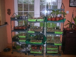 seedlings in the kitchen