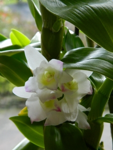 Dendrobium Spring Dream 'Apollon'