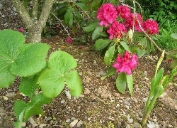 Podophyllum hexandrum & Roscoea 'Jeffrey Thomas'