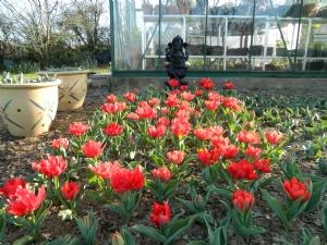 Tulipa 'Carlton'