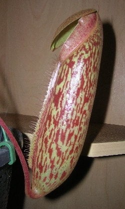 Nepenthes x Miranda opening