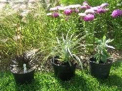 echeveria, puya, protea in front of Annuals Border