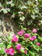 scented climbing roses