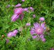 Centaurea dealbata 1.7.11