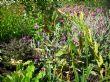 Agapanthus, Hedychium, Lychnis 2.7.11