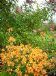 Erysimum linifolium 'Apricot Twist' 15.7.11