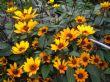 Heliopsis helianthoides scabra 'Summer Nights' 19.