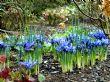 Iris reticulata 'Harmony' 1.3